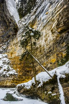 single winter canyon tree - Hiking deep in Johnson Canyon in the cold i came accross this single tree growing in an inhospitable climate along the canyon wall. Single Tree, Growing Tree, Photojournalism, Backyard Landscaping, Nature Photography, Flora, Hiking, Mountains, Abstract