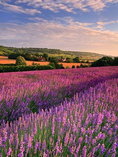 Lavender field and oast house in Otford, Kent, England