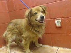 11 YEAR OLD CHOW CHOW NEEDS PLEDGES AND RESCUE! A3308230 My name is Oso and I'm an approximately 10 years, 11 month old male chow chow. I am not yet neutered. I have been at the Downey Animal Care Center since April 4, 2015. I am available on April 4, 2015. You can visit me at my temporary home at D414. https://www.facebook.com/photo.php?fbid=847720171974983&set=pb.100002110236304.-2207520000.1428518406.&type=3&theater