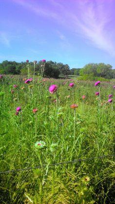 A field of flowers--Prosper, Texas.