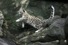 17-pound snow leopard cub at the Bronx Zoo (born April 9, 2013), photographed in August 2013. Hiroko Masuike/The New York Times.