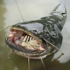 Some catfish baits can take weeks or months to prepare.                                                                                                                                                                                 More