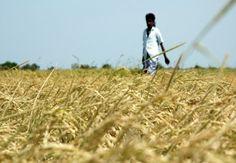 Erratic rainfall in Sri Lanka hitting rice crop, power production - http://www.trust.org/alertnet/news/erratic-rainfall-in-sri-lanka-hitting-rice-crop-power-production/