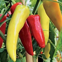 Pepper Seeds Sweet Banana (Heirloom)