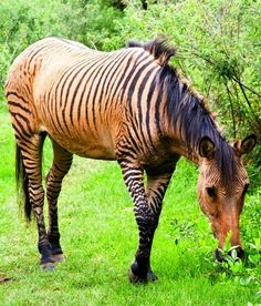 Zorse...I really really want one of these one day!!!!