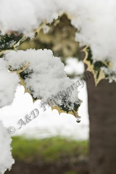 Holly leaf in snow Holly Leaf, Leaves, Snow, Projects, Outdoor, Log Projects, Outdoors, Blue Prints, Outdoor Games