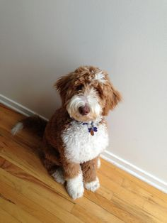 Australian Labradoodle & Goldendoodle Breeder in Illinois at Erica's Doodles
