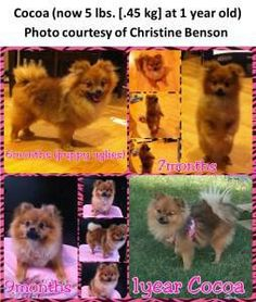 Growth stages of Pomeranian & age in human years
