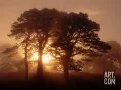 Scots Pine (Pinus Sylvestris) in Morning Mist, Glen Affric, Inverness-Shire, Scotland, UK, Europe Premium Poster
