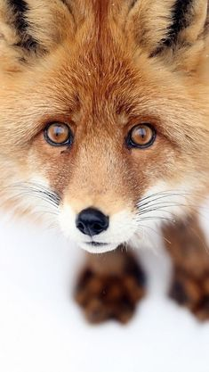 Scary Animals, Animals And Pets, Cute Animals, Animals Beautiful, Fuchs Baby, Maned Wolf, Mr Fox, Fox Hunting, Fox Pictures