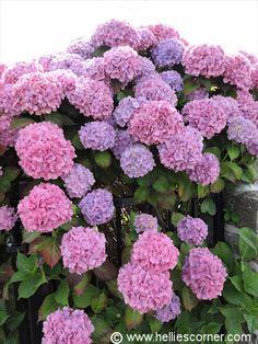 Pink Flowering Mophead Hydangea | Hellie's Corner http://www.helliescorner.com/?p=3996 (2)