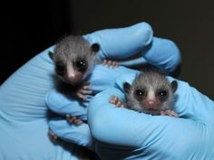 find this pin and more on small furry animals more mouse lemurs