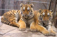 Tiger Baby Faces by Houndofthenight on DeviantArt