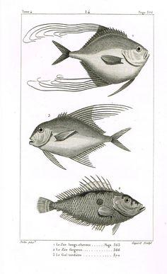 """Lacepede's Fish - """"LE ZEE LONGS-CHEVEUX - Plate 14"""" by Pretre - Copper Engraving - 1833"""