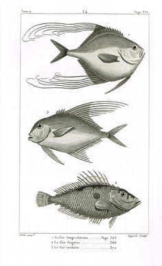 "Lacepede's Fish - ""LE ZEE LONGS-CHEVEUX - Plate 14"" by Pretre - Copper Engraving - 1833"