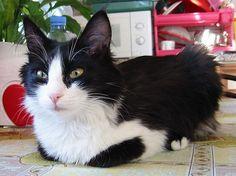 turkish angora cat black and white