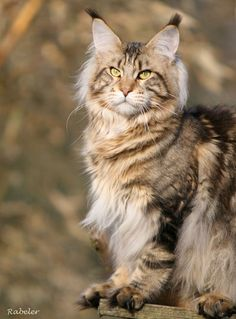 Maine Coon | Alwaro First of King http://www.mainecoonguide.com/maine-coon-vs-norwegian-forest-cat/