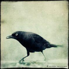 "Crow Art Print - Black and White Bird Photograph - Raven - Crow - Fine Art Print - Goth Art - Dark Surreal Art - Bird Print ""Grackle No. Crow Art, Raven Art, Black And White Birds, Crows Ravens, Bird Tree, Illustrations, Gothic Art, Surreal Art, Bird Prints"