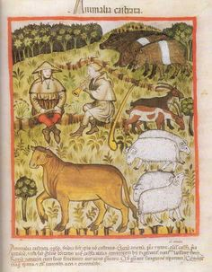 An illustration of a late medieval health book illustrated here, all animals were castrated for fattening purposes.  tacuinum sanitatis, Vienna, Austrian National Library, Cod Vindob. P n 2644, northern Italy, in 1390, folio 71r