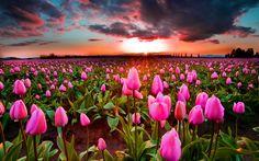 Lataa kuva Vaaleanpunainen tulppaanit, sunset, wild flowers, tulppaanit, Hollannissa