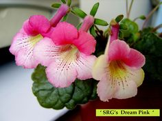 SRG's 'Dream Pink'