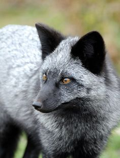 #5. Silver Fox This gorgeous fox species is technically the same species as the red fox the two just have different genetic pigmentations. This type of fox can range in color, from all black to a bluish-grey. Sadly, due to its gorgeous coat, the silver fox is farmed and killed for fur. In the wild, the silver fox does not discriminate based on color, and often mates with red foxes.