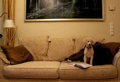 Tobbe the Poodle studying Studying, Poodle, Lifestyle, Furniture, Home Decor, Homemade Home Decor, Learning, Poodles, Home Furnishings
