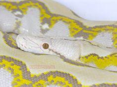 Ghost Retic Python