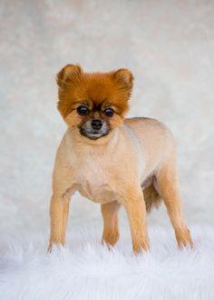 Cristina's Pawfect Photography | Pet Portfolio | Pet Photographer #dog #portrait #petportrait #dogportrait #studioportrait #studio #pomeranian #cristinaspawfectphotography