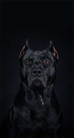 This beautiful ( Cane Corso) Italian muscular mastiff breed dog, is a highly working companion and guard dog. This beautiful ( Cane Corso) Italian muscular mastiff breed dog, is a highly working companion and guard dog. Big Dogs, Cute Dogs, Dogs And Puppies, Doggies, Mastiff Breeds, Dog Breeds, Pitbull Terrier, Dogs Pitbull, Pitbull Mastiff