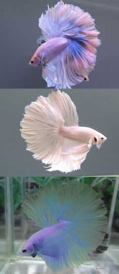 Top-pink and blue pastel colored half moon tail betta Middle-white betta moon tail Bottem-purple and green pastel moon tail betta