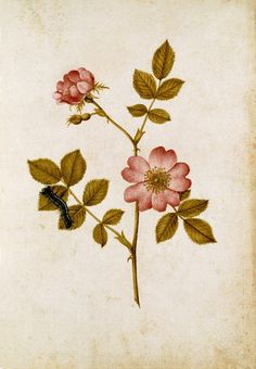 Two dog Roses on a stem & a lackey moth caterpillar, by Jacques Le Moyne de Morgues (1530-088).