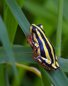 Marbled reed frog or painted reed frog (Hyperolius marmoratus)