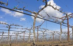 In the winter months, California table grape growers prune and train their vines for the upcoming season, which is May – January.  Click to learn more about the annual grapevine cycle.