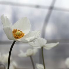 Anemone showing off on the first day of spring! Landscape Design, Garden Design, First Day Of Spring, Spring Blooms, Gardening, Plants, Landscape Designs, Lawn And Garden, Plant