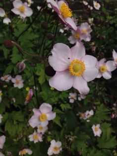 Japanese Anemone (anemone x hybrida): White or pink flowers on tall stems in mid- to late summer or fall. These grow best in part sun with regular soil moisture but once established have shown to do well even in some dry shade too. They increase and create colonies.
