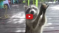 """This persistent mother raccoon, who's been given the appropriate name Rocksy, uses a small rock to """"knock"""" on a sliding glass door whenever she wants more cat food."""