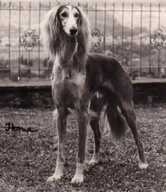Saluki. One of my favourite breeds