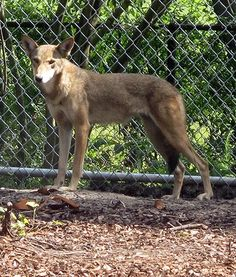 A stunning red wolf watches visitors at the Charles Towne Landing State Historic Site in Charleston, S.C. Unfortunately, red wolves have been hunted to near extinction and there areonly about 320 left.
