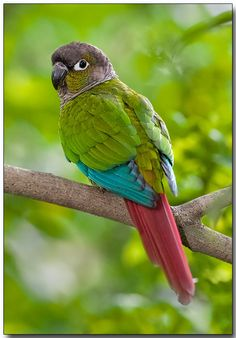 Green-cheeked Parakeet or Green-cheeked Conure - W.C. & S. Mato Grosso, Brazil, through N. & E. Bolivia to NW Argentina & N.Paraguay