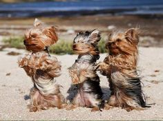 This wind is messing up my hair Teacup Yorkie, Teacup Puppies, Cute Puppies, Dogs And Puppies, Pet Dogs, Dog Cat, Doggies, Poodles, Yorky