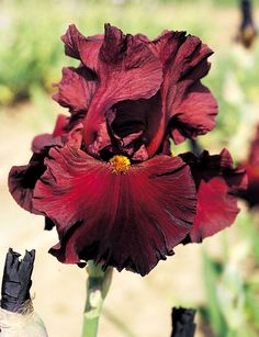 Schreiner's Iris Gardens grows high quality bearded and beardless iris rhizomes for your landscape design. Excellent customer service answers your iris growing questions. We ship iris worldwide at the right time for planting.