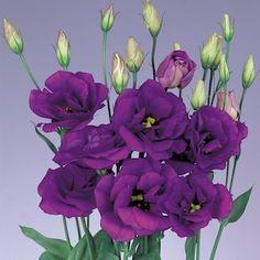 $ same as white//   Echo Blue lisianthus - Cut Flowers - Annual Flower Seeds