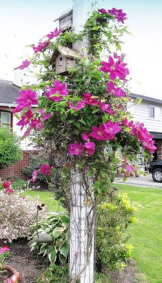 Pretty pink clematis climbing a post and then there are two bird houses. Love this clematis and birds, so I love bird houses too. Grow lots of clematis in my garden.