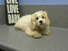 #A443273 (Moreno Valley, CA) female, cream Cocker Spaniel and Poodle - Miniature. The shelter thinks I am about 4 months old I have been at the shelter since Dec 01, 2014 and I may be available for adoption on Dec 08, 2014 at 4:18PM. https://www.facebook.com/135559229932205/photos/a.382565775231548.1073741961.135559229932205/395036203984505/?type=3&theater