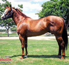 SENIOR SOLO es hijo de Mr Jess Perry Tylers First Down por First Down Dash | Semental Premium Cuarto de Milla #stallionmexsearch . En servicio en Cuadra La Presita en Culiacan Sinaloa. Para mayor información visite: http://ift.tt/1RFT3jF #semental #cuartodemilla #caballo #horseracing #stallion #hipodromodelasamericas #caballodecarreras #carrerasdecaballos#horsesofinstagram #caballosfinos #horse #riding #quarterhorse #aqha #horselife #cavalo #horserancing #nofilter #equestrian…