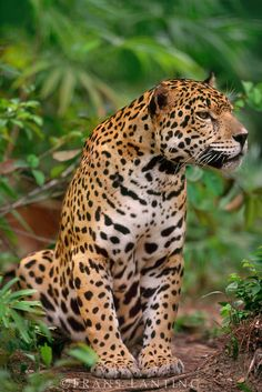 Jaguar, Panthera onca, Belize