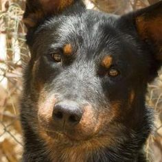 1 / 22    Petango.com – Meet Mikey, a 2 years 1 month Australian Cattle Dog / Australian Kelpie available for adoption in JOSHUA TREE, CA Contact Information Address  4646 Sun View Road, JOSHUA TREE, CA, 92252  Phone  (760) 366-3786  Website  http://www.mbhumanesociety.com /  Email  morongobasinhumanesociety@gmail.com