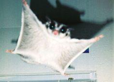 i love sugar gliders :) Sugar Glider Toys, Sugar Gliders, Flying Squirrel, Sugar Baby, My Little Baby, Cute Little Animals, Animals Beautiful, Beautiful Things, Funny Animals