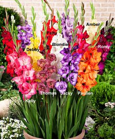 Mini-gladioli 'Glamini' // When purchasing your Gladiolus bulbs in the garden centre ask for Primulinus or miniature hybrids as these varieties grow to about 2ft (0.6 metre).